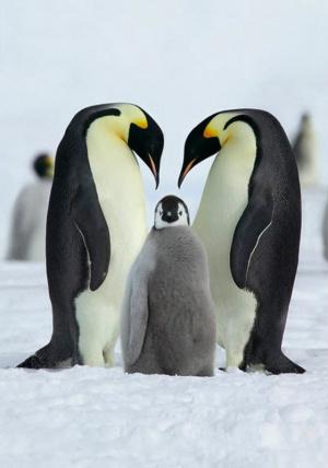 Детёныши пингвинов - птенцы