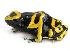 удивительные факты о лягушках