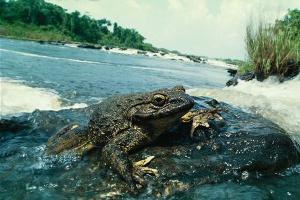 удивительные факты о лягушках-древолазах