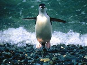 Удивительные пингвины