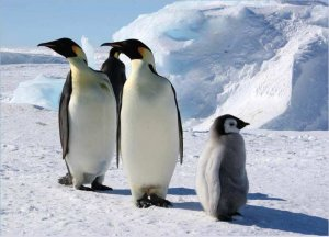 Птицы фото, пингвин