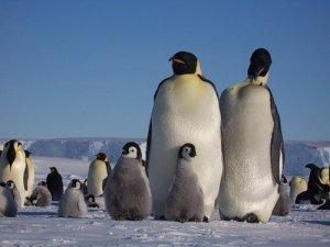 Птицы фото, пингвин, пингвинята