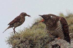 Птицы фото, кукушка