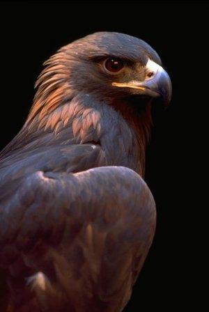 Птицы_орёл