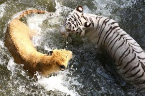 Большие кошки любят плавать