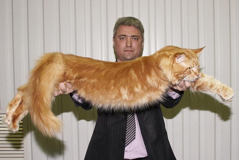 Большие кошки домашние
