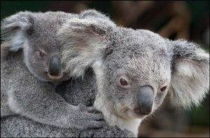 сменной коала