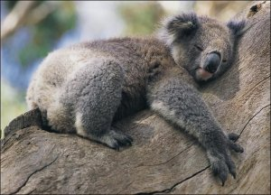 животные австралии- коала