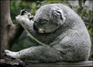 замечательный мишка коала