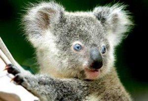 вот такая она, коала