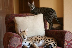 Большие домашние кошки