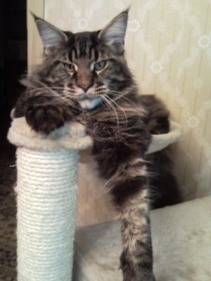 Большие кошки мейн-кун