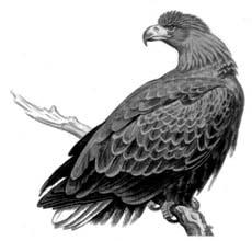 Хищные птицы - орланы