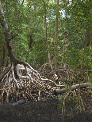 мангровые заросли