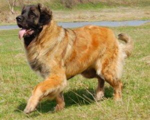 Редкие породы собак - леонберг, терьер денди и исландская овчарка