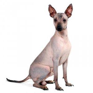Редкие породы собак: ксолоитцкуинтли