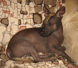 ксоло_голые собаки