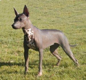 ксоло-порода собак