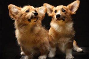 Редкие породы собак - аристократы корги