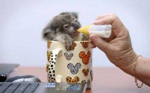 Детёныш коалы Раймонд