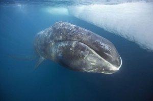 кит-долгожитель