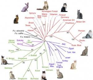 Генетика в фелинологии