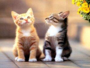Генетика кошачьих окрасов