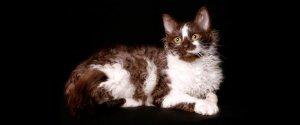 Ла-перм - непризнанная порода кошек