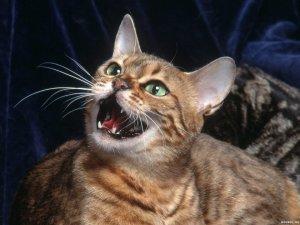 Как разговаривают кошки
