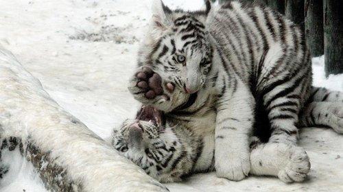видео белого тигра
