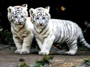 Большие кошки - белые тигрята
