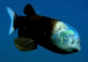 глубинная рыбка макропинна - самая странная и удивительная из всех обитателей океанских глубин
