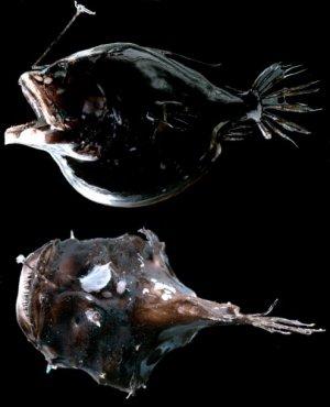 Удильщики- тайна глубин океана