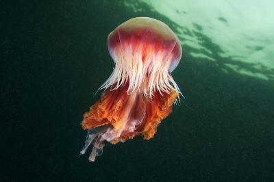 самые странные животные планеты 1368266957_cyanea-capillata-2