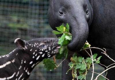 Тапиры и их детёныши