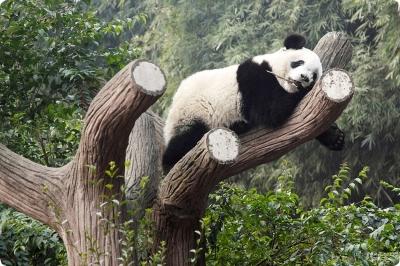 Панды, Китай