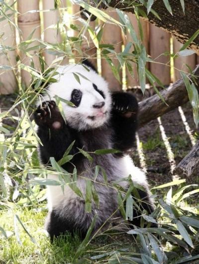 Панда Кун-фу, похожа?