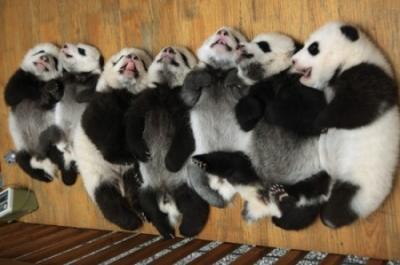 Забавные животные панды