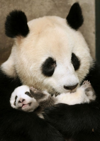 Фото бамбукового медведя