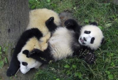 Как выглядят панды