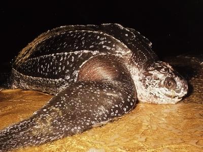 Огромная черепаха на фото...